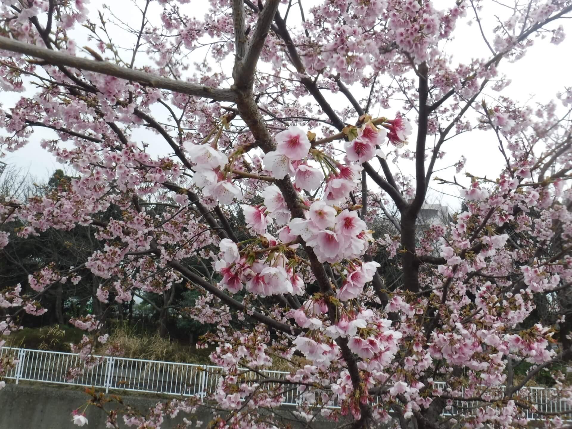おやっ、もう咲き始めていますね!
