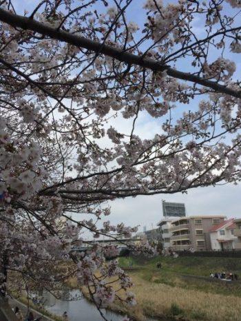 戸塚にて桜咲く